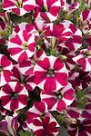 Cascadias Bicolor Purple Petunia hybrid