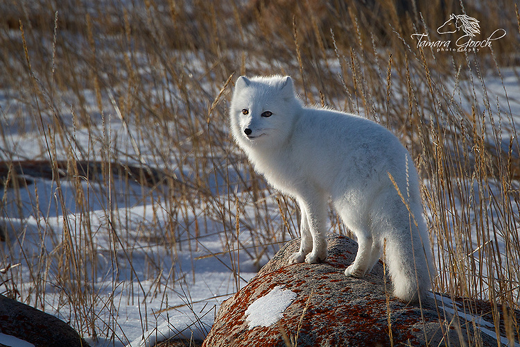 A photo of an artic fox standing on a rock