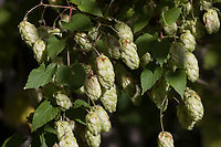 Hopfen, Hopfenzapfen, Gewöhnlicher Hopfen, Echter Hopfen, Humulus lupulus, Common Hop, Hop, hops, Le Houblon, Le houblon grimpant