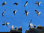Horned Puffin Landing Sequence, Duck Island, Puffin Island, Tuxedni Bay, Cook Inlet, Alaska