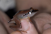 A Mimicking rain frog, Eleutherodactylus mimus, on a fingertip; La Selva, Costa Rica