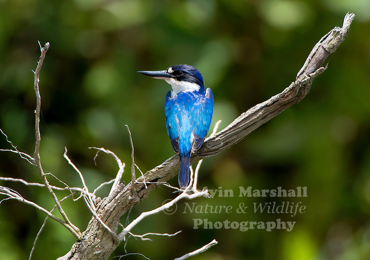 Forest kingfisher (Todiramphus macleayii), also known as the Macleay's or blue kingfisher, is a species of kingfisher in the Halcyonidae family, also known as tree kingfishers. It is a predominantly blue and white bird. It is found in Indonesia, New Guinea and coastal eastern and northern Australia. Like many other kingfishers, it hunts invertebrates and small frogs and lizards. Daintree river, Far - North Queensland Australia.