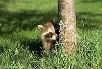 MA21-030x  Raccoon - young raccoon exploring - Procyon lotor