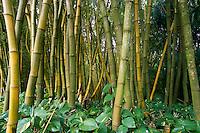 Bamboo (Bambusa vulgaris L. 'Vittata') Grove, Allerton Garden, National Tropical Botanical Garden, Kauai, Hawaii, US