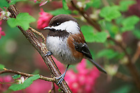 Chestnut-backed chickadee perched on red flowering currant branch, Snohomish, Washington, USA