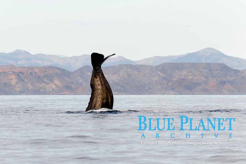 sperm whale, Physeter macrocephalus, lobtailing, Baja California, Mexico, Gulf of California, Sea of Cortez, Pacific Ocean