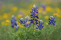 Wildflower field with Texas Bluebonnet (Lupinus texensis), Comal County, Hill Country, Texas, USA