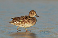 Teal - Anas crecca - female