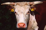 Close up tagged ears face horns of Hereford  cow, UK