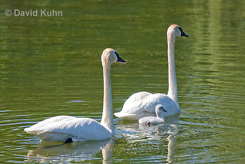 0201-1102  Trumpeter Swan Pair with Their Cygnet (Young Swan), Bugler Swan, Cygnus buccinator  © David Kuhn/Dwight Kuhn Photography