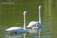 0201-1102  Trumpeter Swan Pair with Their Cygnet (Young Swan), Bugler Swan, Cygnus buccinator  © David Kuhn/Dwight Kuhn Photography