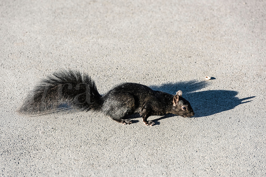 Black squirrel.