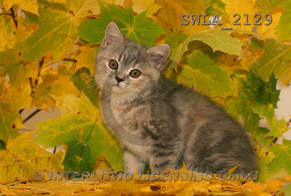 Carl, ANIMALS, photos(SWLA2129,#A#) Katzen, gatos