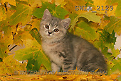 Carl, ANIMALS, photos(SWLA2129,#A#) Katzen, gatos