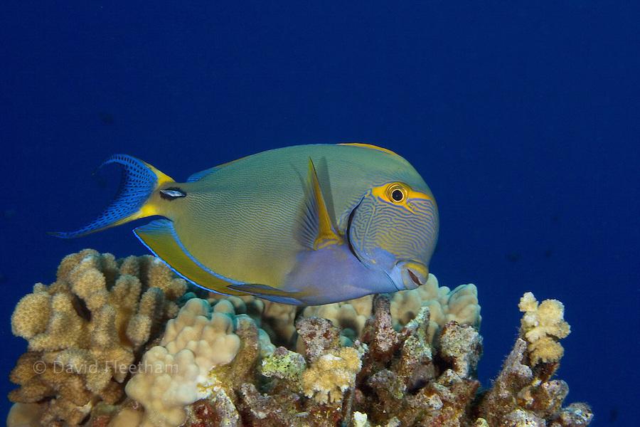 Eyestripe surgeonfish, Acanthurus dussumieri, Hawaii.