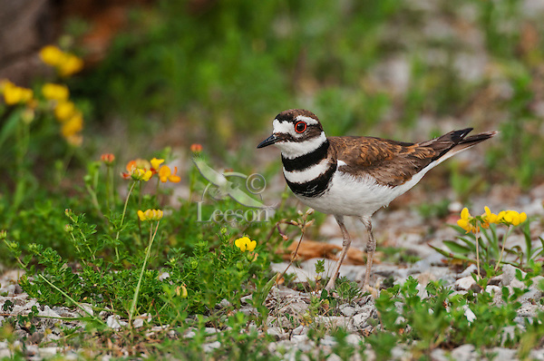 Killdeer (Charadrius vociferus) distributed throughout most of North America.