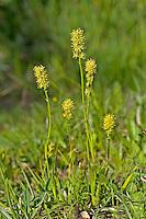 Kelch-Simsenlilie, Gewöhnliche Simsenlilie, Hüllen-Simsenlilie, Kelch-Liliensimse, Tofieldia calyculata, Tofieldia palustris, Alpine Asphodel, German Asphodel