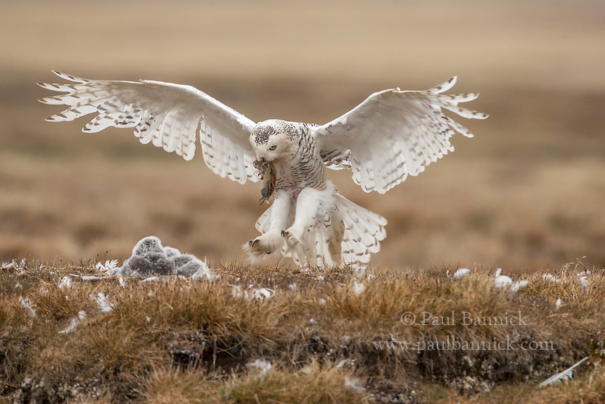 A female Snowy Owl returns to the nest with a lemming delivered by her mate.  (Alaska)