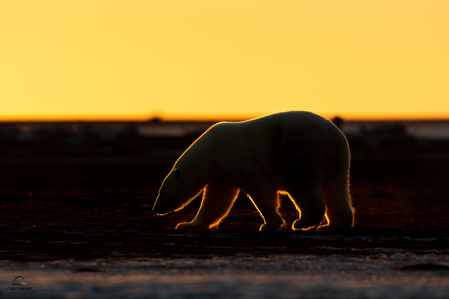 Male Polar Bear (Ursus maritimus) putting his incredible sense of smell to work as he strolls the beach at dusk.  The sun is setting behind him, which renders his outline in gorgeous rim lighting.