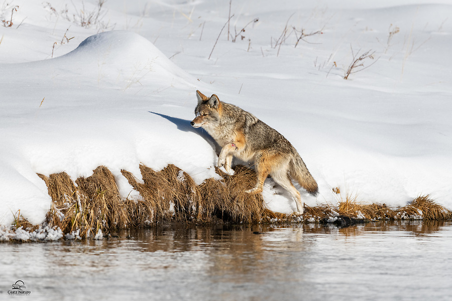 Coyote (Canis latrans) sporting a nasty wound on its left front leg, but it didn't slow it down. On the bank of the Madison River, the canine was on the move after a scent. It eventually cornered a rodent between a large boulder and the river.