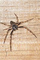 Spaltenkreuzspinne, Spalten-Kreuzspinne, Männchen, Nuctenea umbratica, Walnut Orb-Weaver Spider, walnut orb weaver spider, Walnut Orb Weaver, male