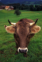 cow, Switzerland, Appenzell, Europe, A Brown Swiss Cow stands in a pasture on a farm in Appenzell.