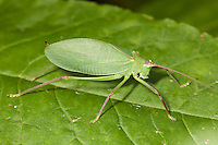 A female Common True Katydid (Pterophylla camellifolia) perches on a plant leaf.
