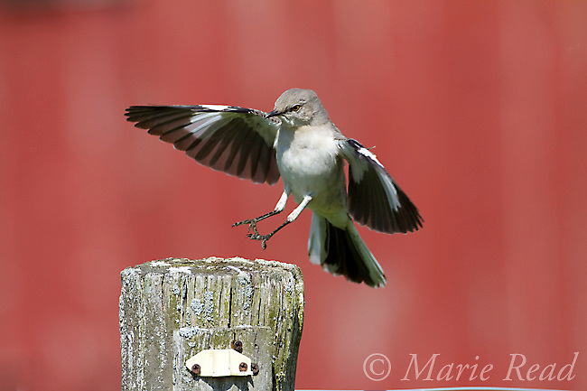 Northern Mockingbird (Mimus polyglottos), flying in to land on fencepost, red barn in background, spring, Interlaken, New York, USA