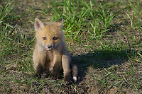 Red Fox Kit sitting in the morning sun outside its den