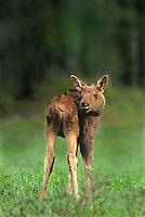 660509022 a wild moose calf alces alces poses in an open glade in yellowstone national park wyoming