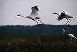 Whooping cranes in flight, with radio transmitter on juvenile in Aransas National Wildlife Refuge, Texas