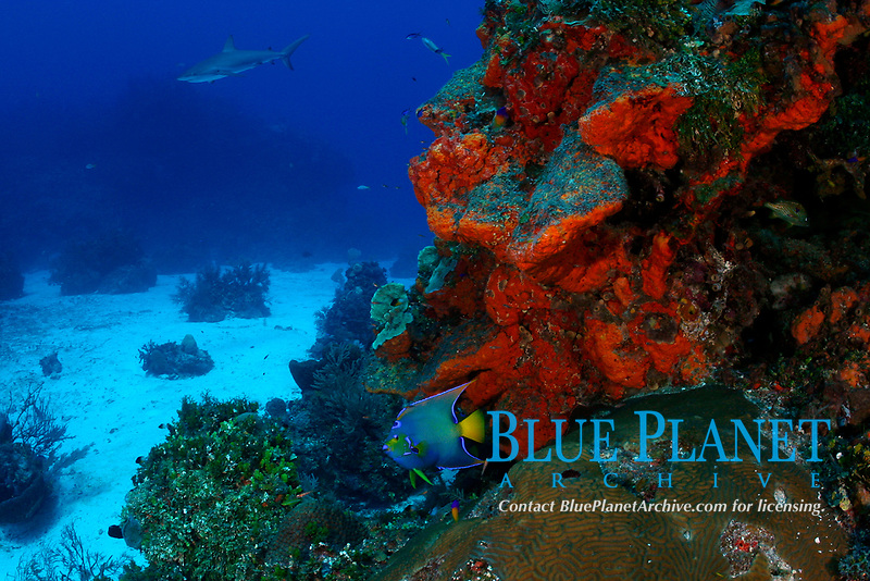 queen angelfish, Holacanthus ciliaris, on coral reef with Caribbean reef sharks and orange elephant ear sponges, Bahamas (W. Atlantic) (do)