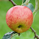Apple 'Delcorf', early September. A French dessert apple raised in 1956 in the Auvergne. Also known as 'Delbarestival'.