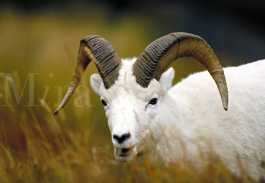 Dall sheep ram, head shot. Alaska USA Denali National Park.