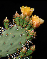 Pricklypear cactus (Opuntia engelmannii) blossom and buds in the Superstition Mountains; Coronado National Forest, AZ