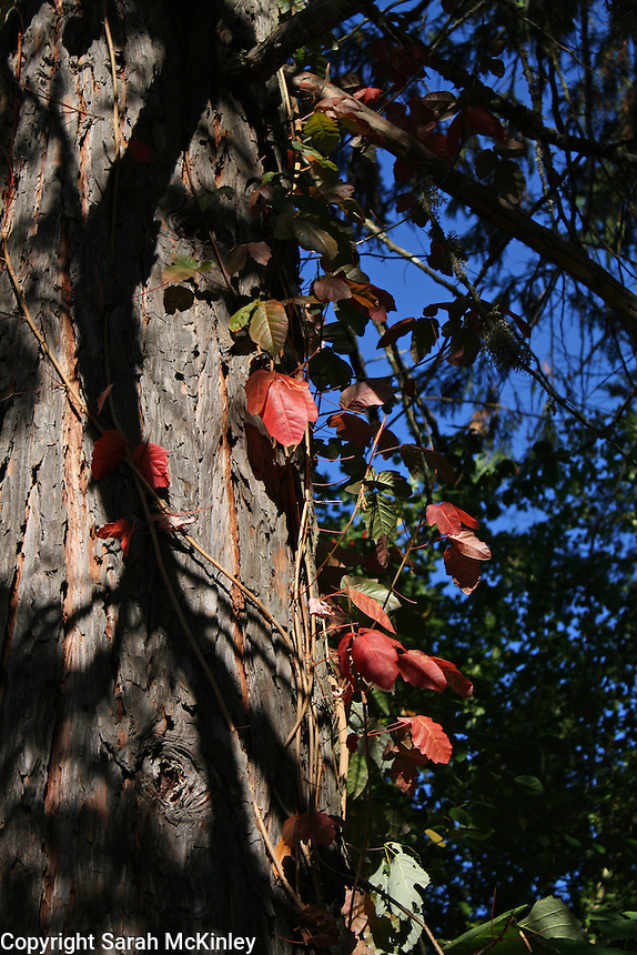 The red leaves of poison oak on a vine growing up a cedar tree outside of Willits in Mendocino County in Northern California.