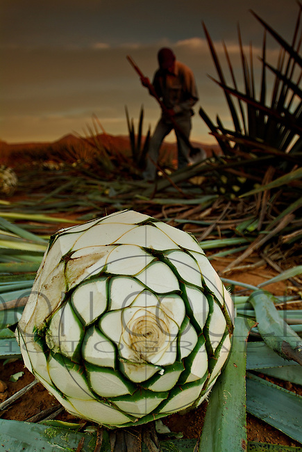 Jimadors cutting blue agave near Tequila, Mexico