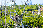 Bald Eagle nesting over Skilak Lake, Kenai National Wildlife Refuge, Southcentral Alaska, Summer.
