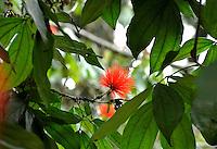 Carbonero rojo visto en el Jardín Botánico, José Celestino Mutis, de la ciudad de Bogotá, Colombia./ Carbonero Red seen at the Botanic Garden, Jose Celestino Mutis, in Bogota, Colombia. Photo: VizzorImage/ Gabriel Aponte / Staff