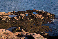 Seagulls rest on the rocky seashore full of fucus of the St. Lawrence river in the Essipit Innu community in the Quebec region of Cote-Nord Thursday October 11, 2012. Fucus is a genus of brown algae found in the intertidal zones of rocky seashores almost throughout the world.