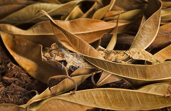 Satanic leaf-tailed gecko (Uroplatus phantasticus) coloration is well adapted for camouflage in its native forests of Madagascar, such as on this floor of ficus leaves.