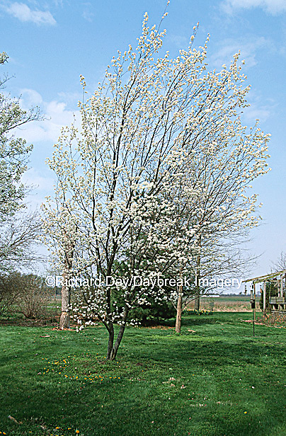 63808-025.01 Serviceberry Tree (Amelanchier arborea) in yard landscaped for birds  Marion Co.  IL