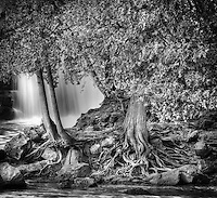 Cedars wrap their tendril like roots into the rocky shores of the Gooseberry river.