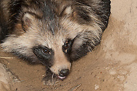 Marderhund, Marder-Hund, Enok, Portrait am Höhleneingang, Seefuchs, Nyctereutes procyonoides, raccoon dog, Chien viverrin