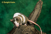 MU60-017z  Pet Mouse - exploring