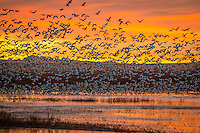 An early morning sunrise with Snow Geese at Bosque Del Apache National Wildlife Refuge in New Mexico.