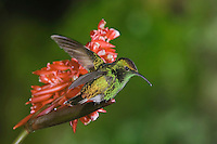 Coppery-headed Emerald, Elvira cupreiceps, male perched on flower of the ginger family(Zingiberaceae), Central Valley, Costa Rica, Central America