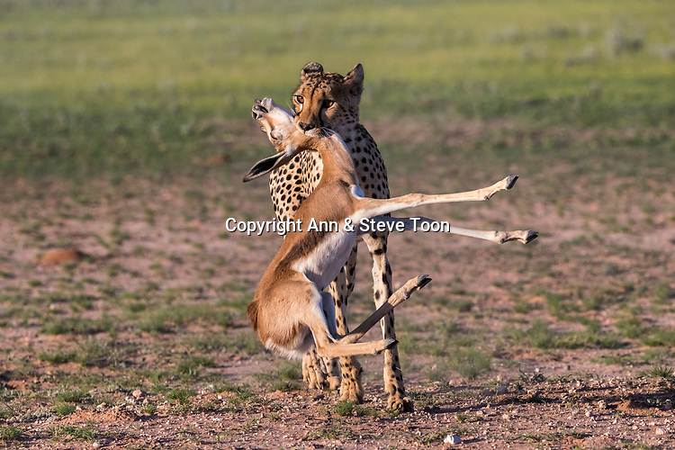 Cheetah (Acinonyx jubatus) with springbok calf kill (Antidorcas marsupialis), Kgalagadi transfrontier park, Northern Cape, South Africa, January 2017