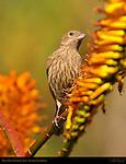 House Finch Female on Aloe, American rosefinch, Southern California