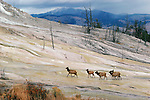 Group of elk walking along formations at Mammoth Hot Springs in Yellowstone National Park, Wyoming.